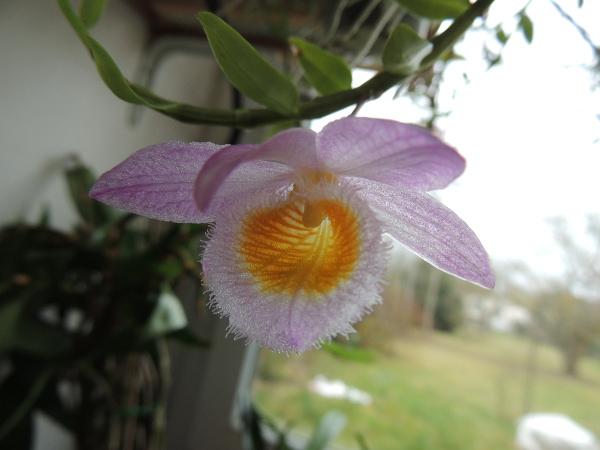 Dendrobium loddigesii Dendro-loddigesii