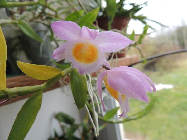 Dendrobium loddigesii Dendro-loddigesii2