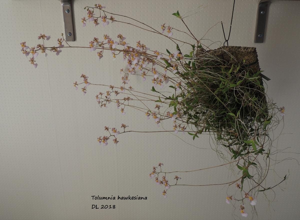 Tolumnia hawkesiana DSCN3556