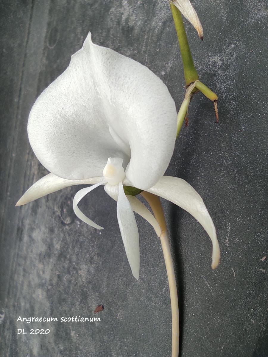 Angraecum scottianum IMG_20201004_143921