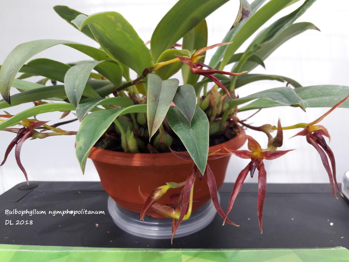 Bulbophyllum nymphopolitanum Bulbo-nymphopolitanum-2018